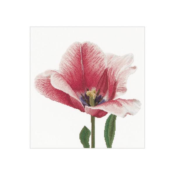 Розовый тюльпан Дарвинов