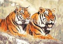 Бесплатная схема для вышивания крестиком Тигр и тигрица